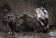 Bullrace ~ Pacu Jawi
