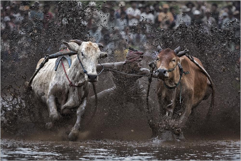 Pacu Jawi ~ Fliegende Kühe