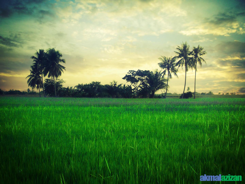 paddy fields II