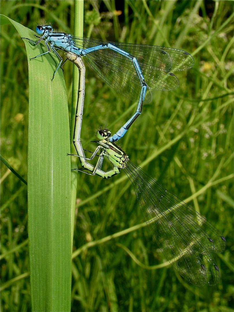 Pärchen der Hufeisen-Azurjungfer (Coenagrion puella) in Hilden, 29.5.2012