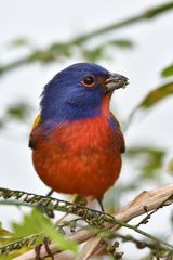 Painted Bunting / Papstfink