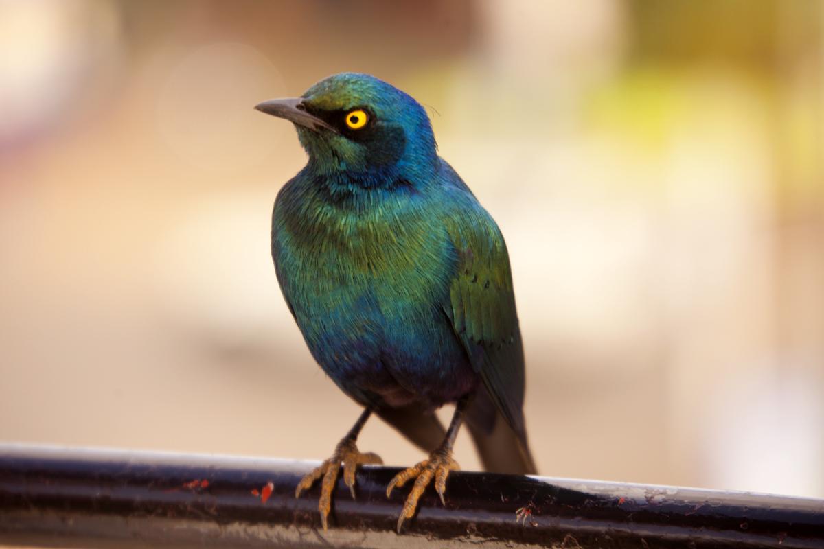 Pajarillo azul, tornasolado