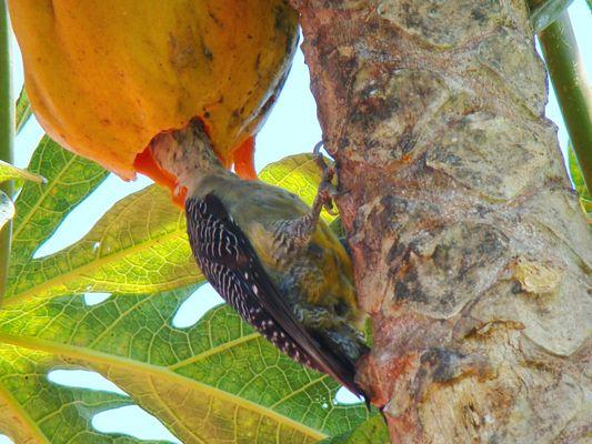 Pájaro carpintero comiéndo fruta