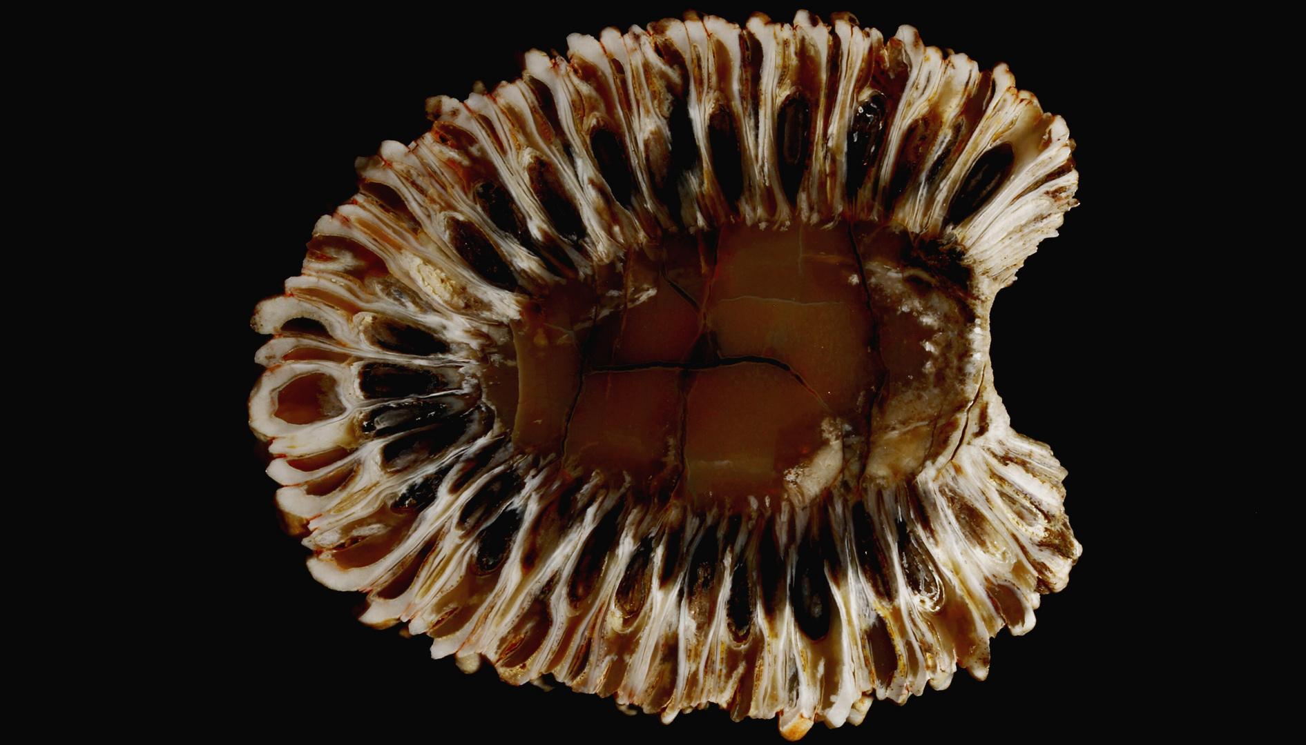Paläobotanik- versteinerter ARAUCARIA Zapfen, Patagonien (210 Mio. Jahre alt)