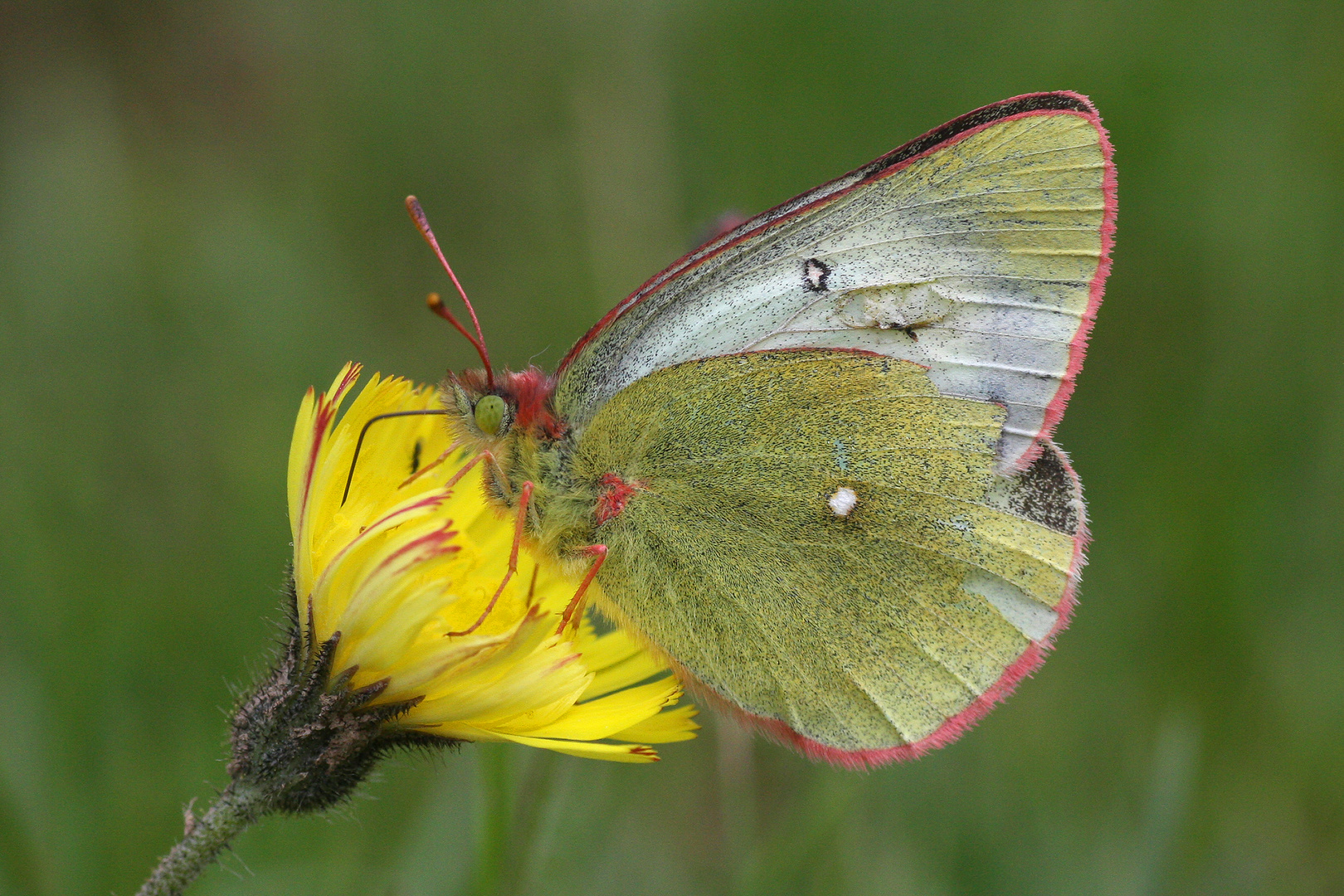 Pale Arctic Clouded Yellow oder Hochmoorgelbling (Colias palaeno)