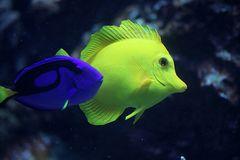 Paletten Doktorfisch und Zitronen Segelflossen Doktorfisch