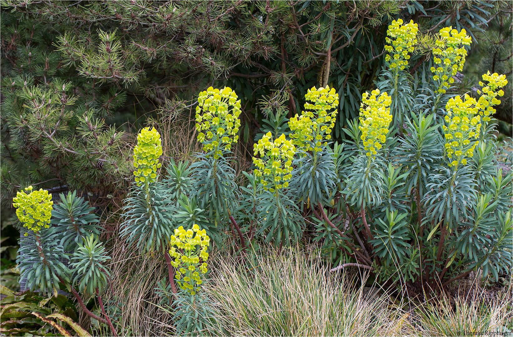 Palisaden-Wolfsmilch (Euphorbia characias) Wulfenii...