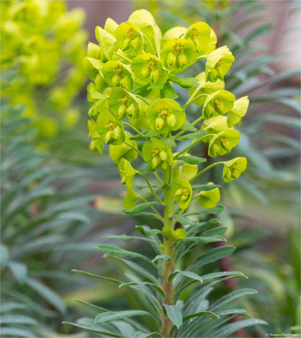Palisaden-Wolfsmilch (Euphorbia characias) Wulfenii