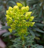 Palisaden-Wolfsmilch (Euphorbia characias) Wulfenii.