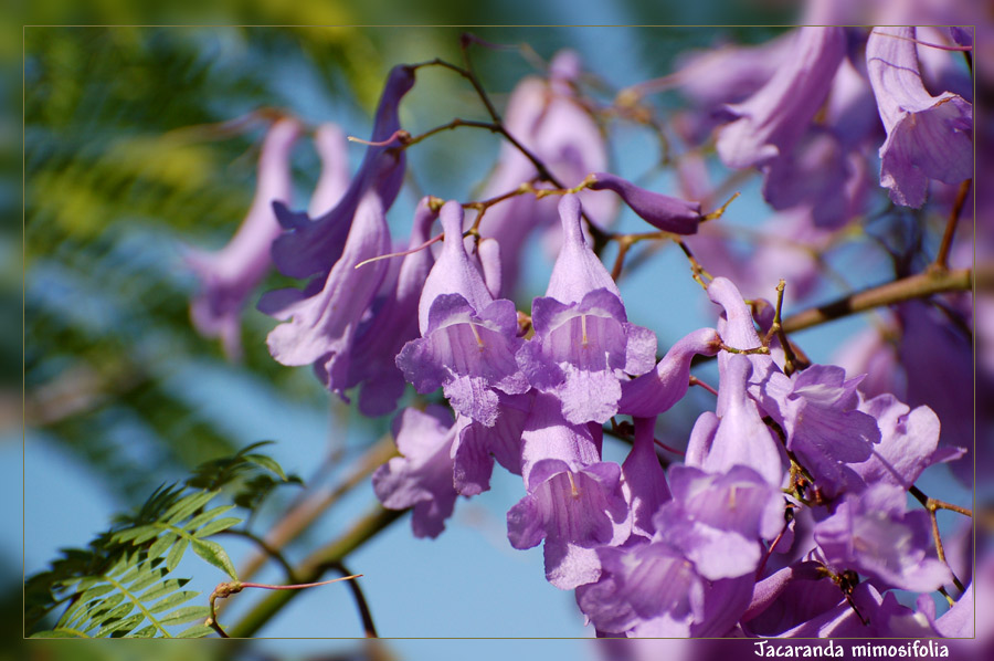 Palisanderholzbaum  Palisanderholzbaum - Jacaranda (Jacaranda mimosifolia) Foto & Bild ...