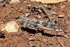 Pallid-Winged Grasshopper