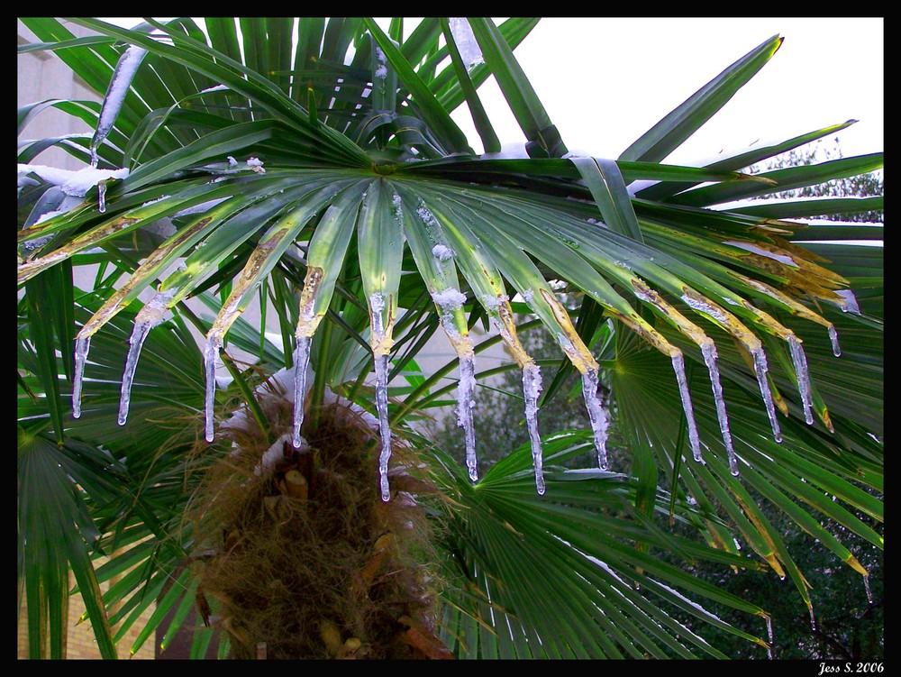Palm Icicile
