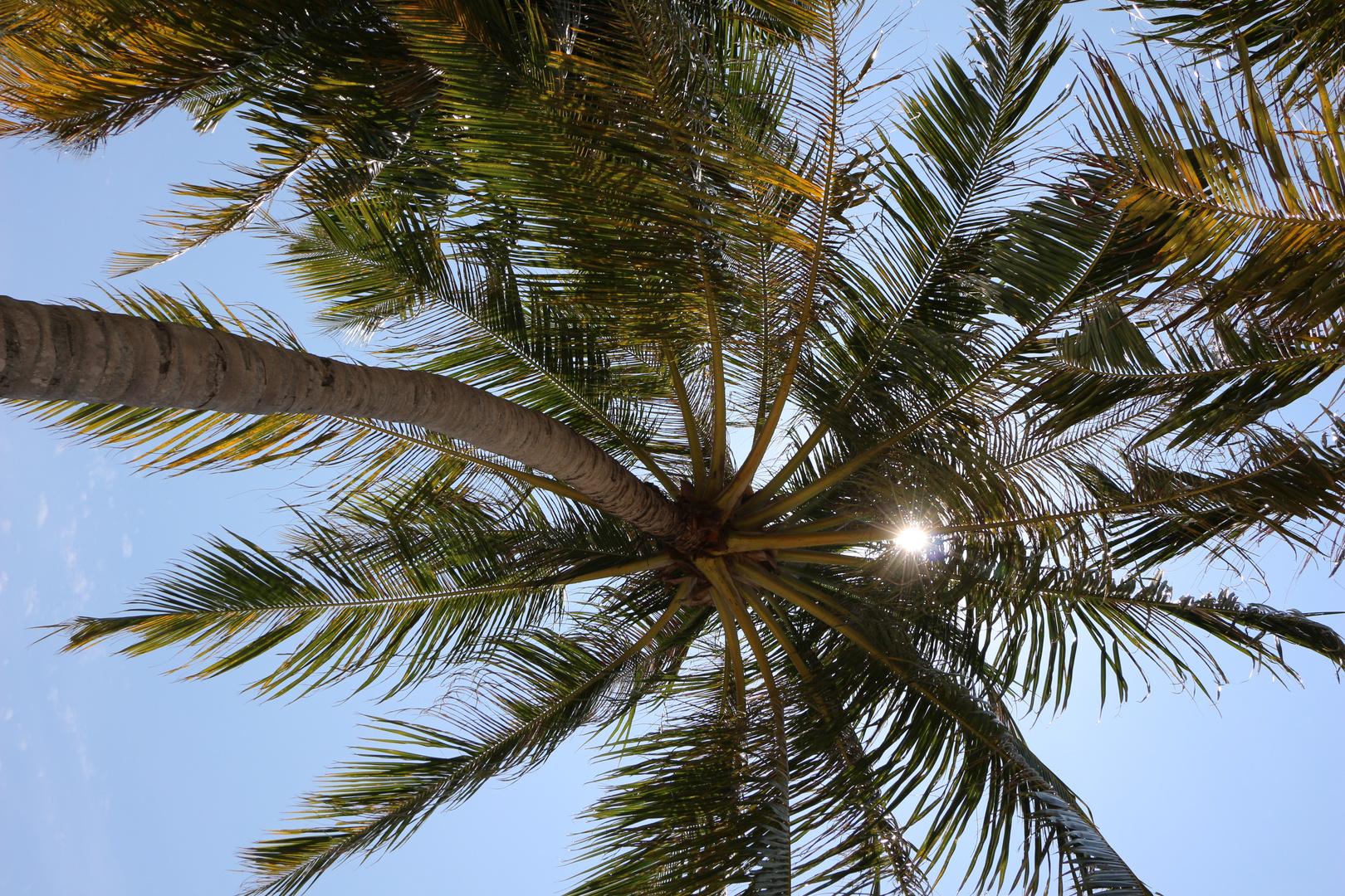 palm. Maldives
