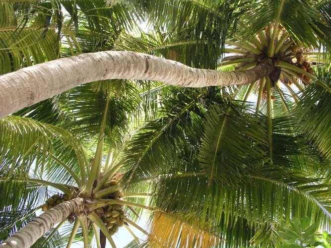 Palmbaumpaar