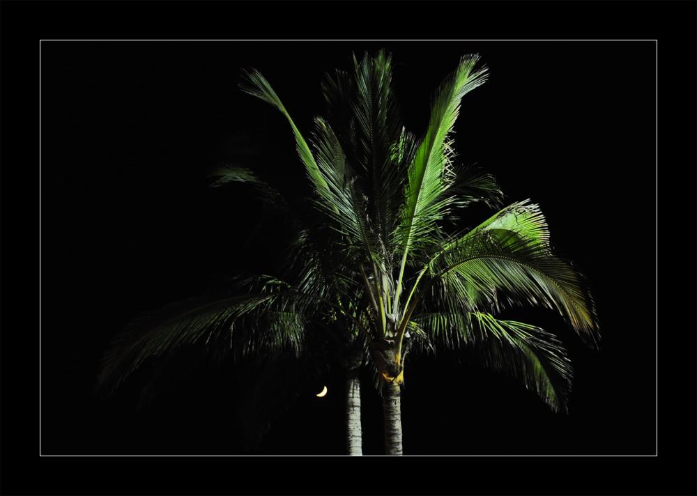 Palme auf La Palma