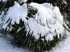 Palme blanche