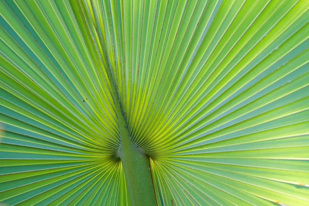 Palme Etoilée