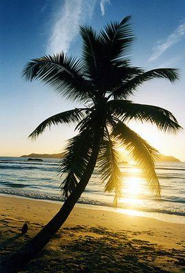 Palme+Kokosnuß