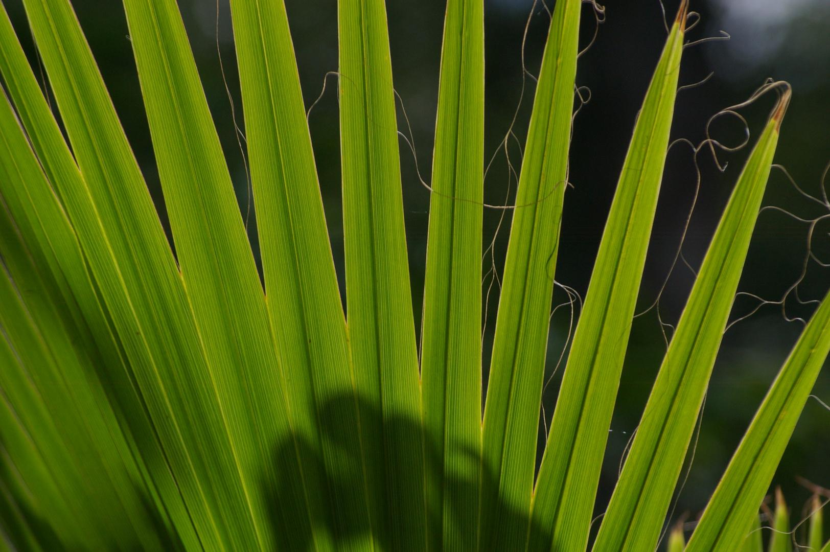 Palmen-Fächer ;o)