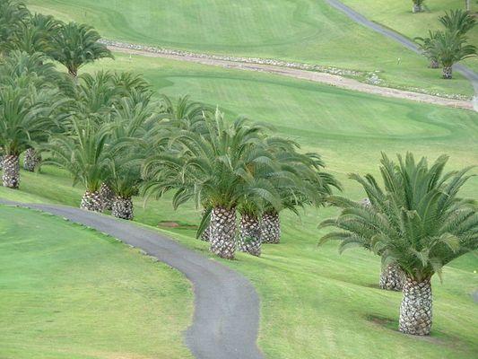 Palmen Golfplatz Salobre Gran Canaria