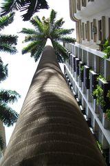 Palmen in der Rua Paisandú sind 50 Meter hoch - Rio de Janeiro