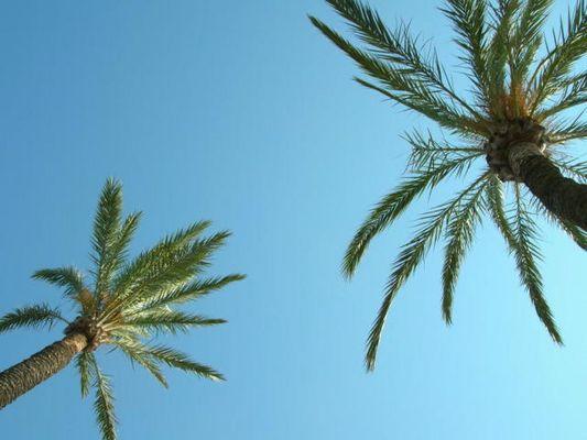 Palmen in Mallorca