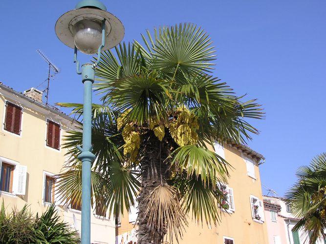 Palmen in Rovinj