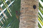 Palmen-Specht