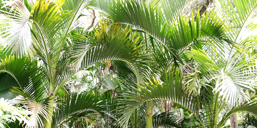 Palmen, viele