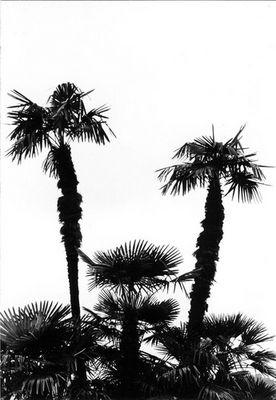Palmen vom Bodensee
