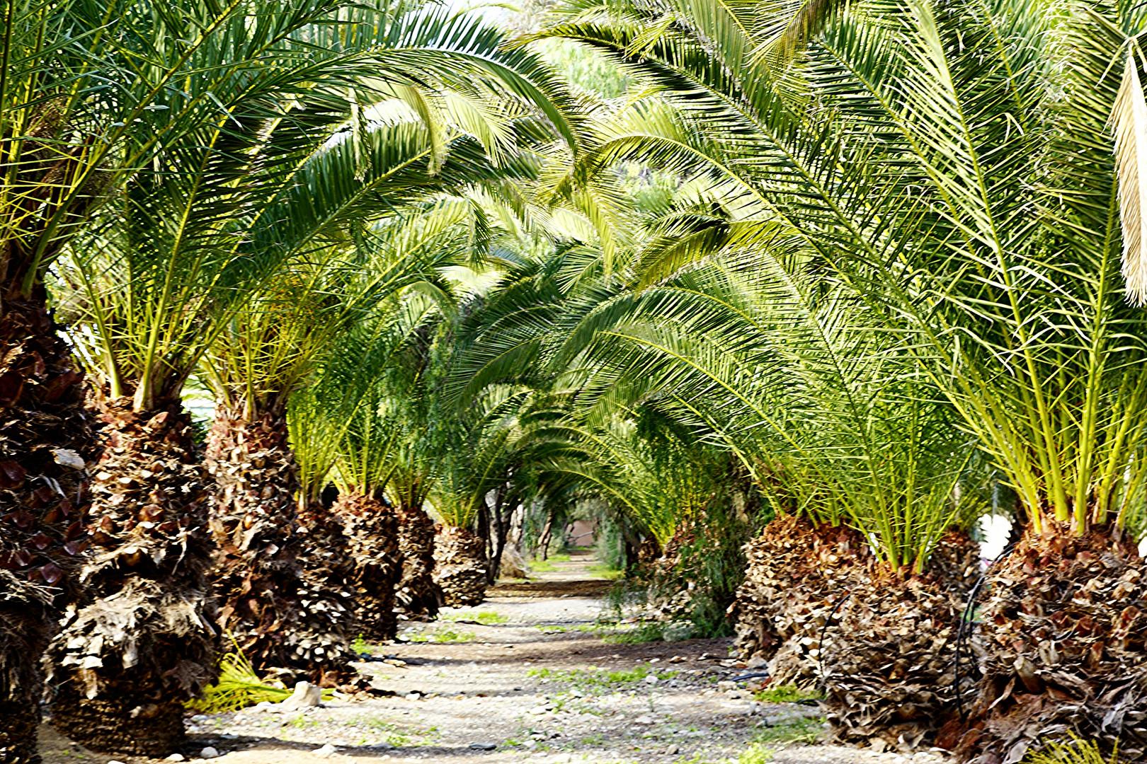 Palmenallee auf Gran Canaria