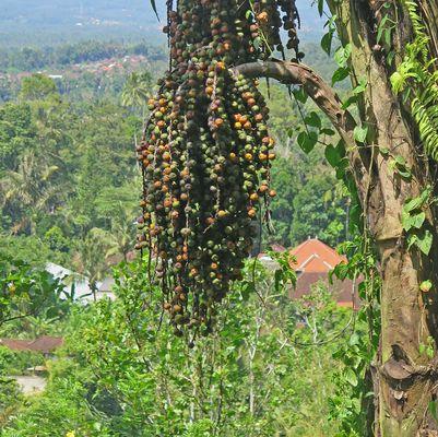 Palmenart auf Bali