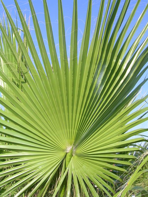Palmenwedel