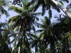 Palmenwipfel