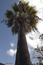 PALMERA (washingtonia filifera)