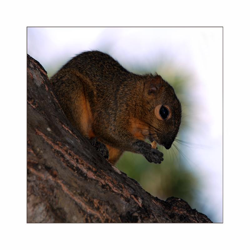 Palmhörnchen
