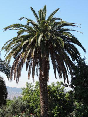 Palmier d'Espagne