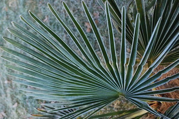 Palmier gelé