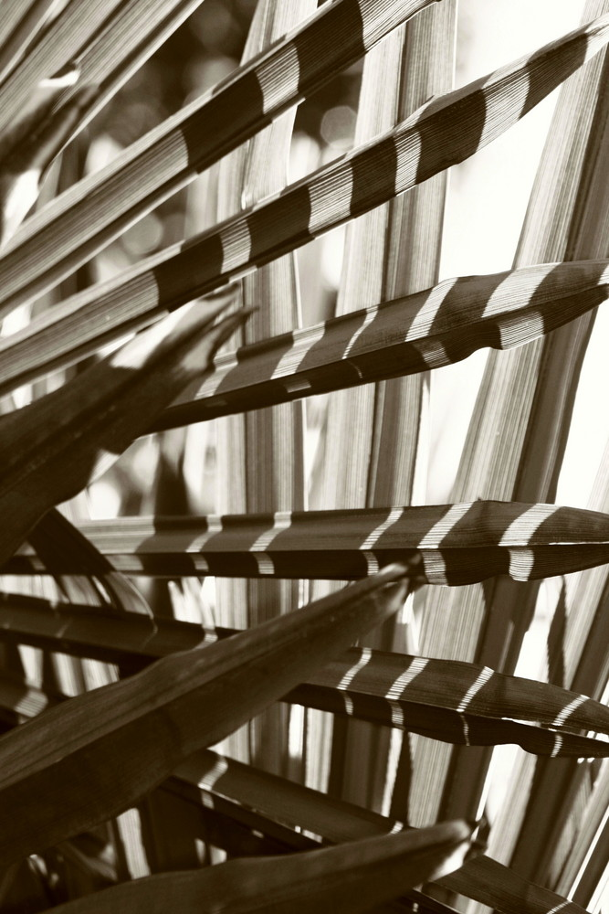 palmier zébré un matin ensoleillé.