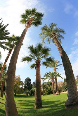 Palmiers.