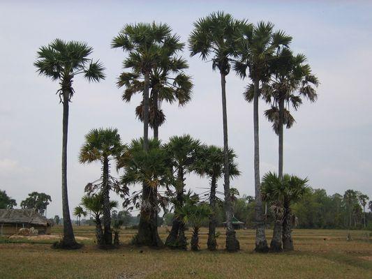Palmiers à sucre