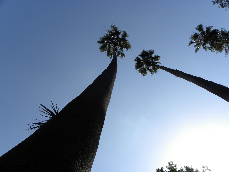 Palmiers - Jardin anglais de Palerme