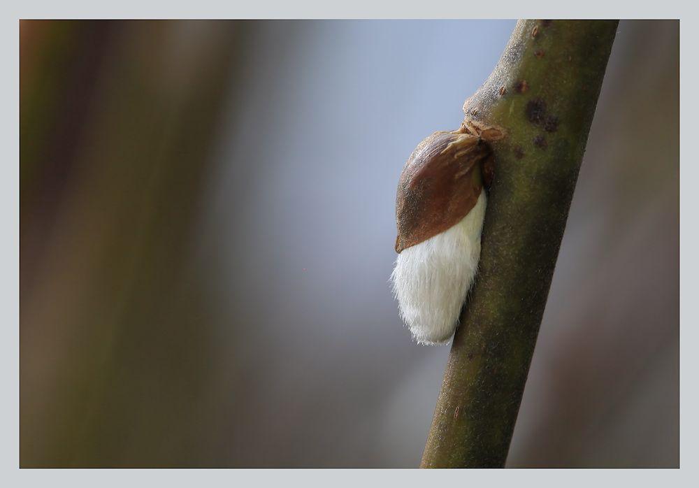 palmkätzchen...