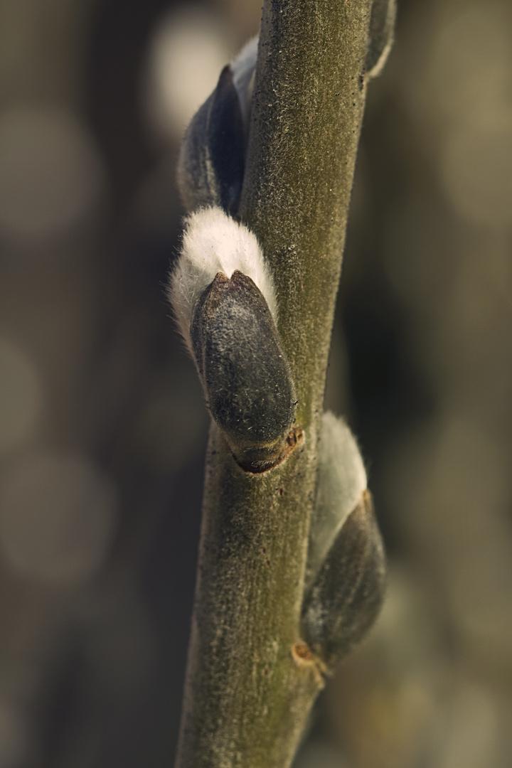 Palmkätzchen