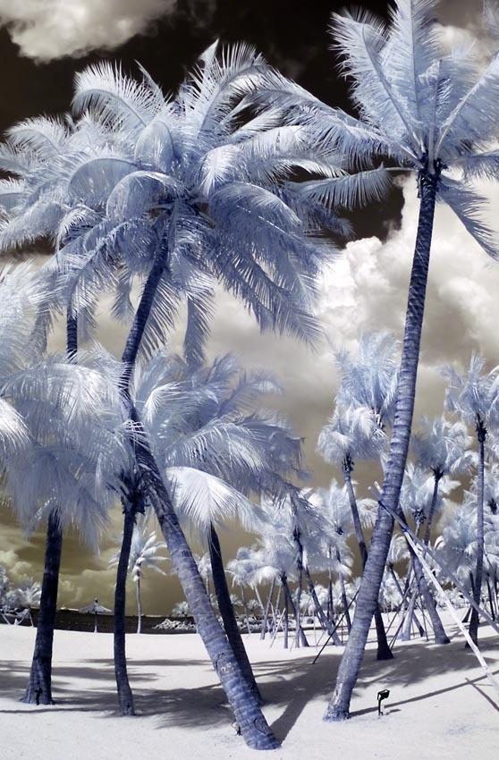 Palmtrees at Siloso beach