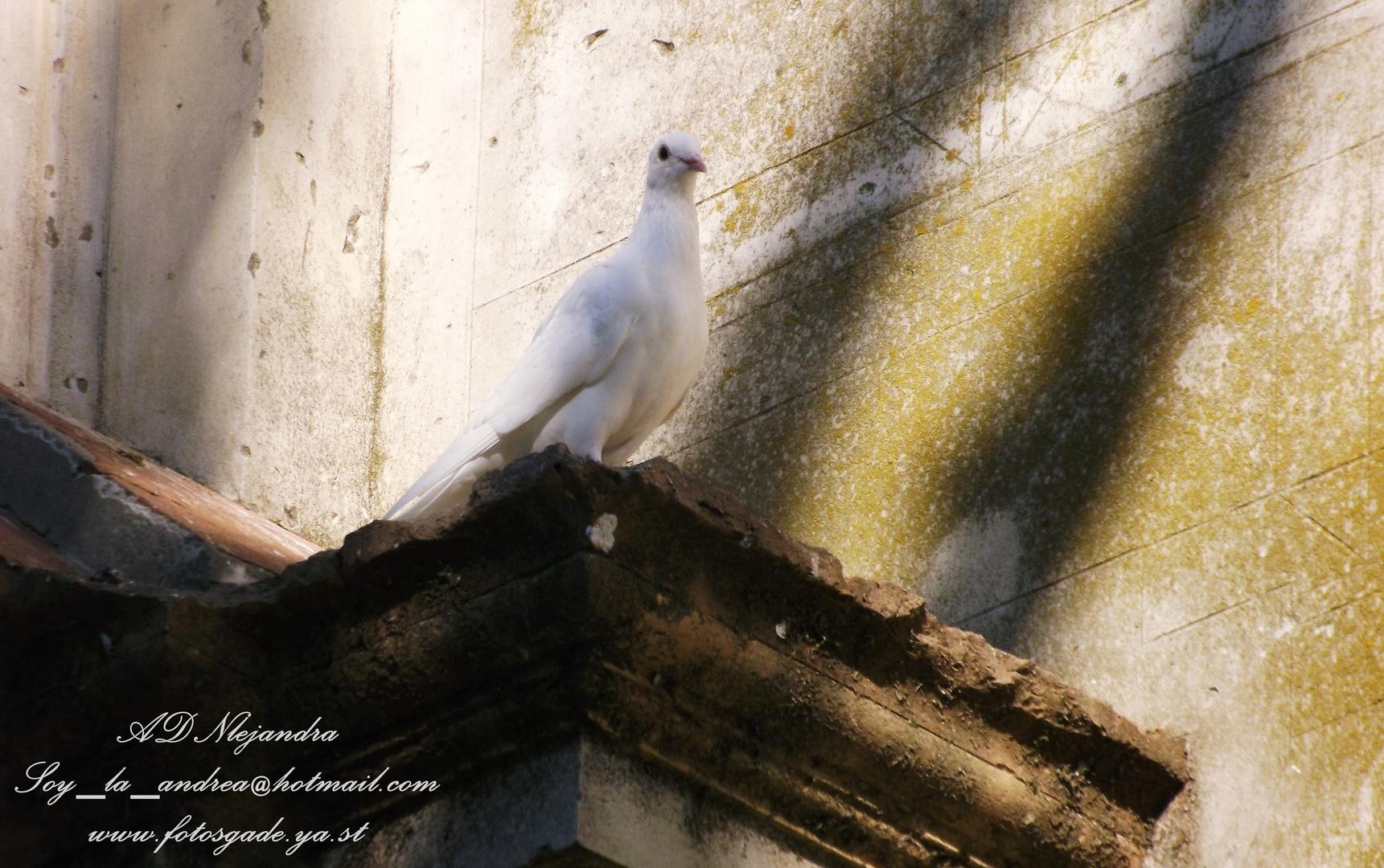 Paloma blanca de Chipiona