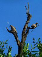 palomas torcaces