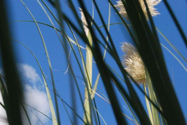 Pampas Gras im Garten