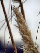 Pampas-Gras im Winter 1 (Bonn-Rheinaue)