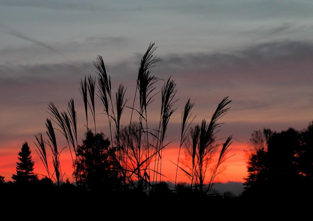 Pampasgras im Sonnenuntergang